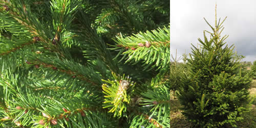 Norway Spruce - Tree Types Norway Spruce